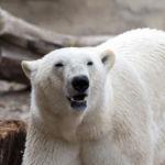 Zoo am Meer Bremerhaven Eisbaer