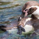 Zoo am Meer Bremerhaven Pinguin