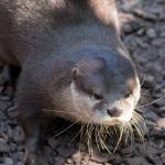 Zoo am Meer Bremerhaven Otter